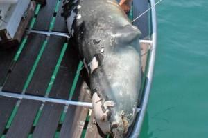 Αλόννησος: Νεκρή η διάσημη φώκια του νησιού - Την σκότωσαν με ψαροντούφεκο