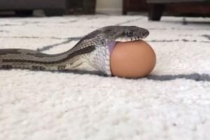 Ανατριχιαστικό: Φίδι καταπίνει ολόκληρο αυγό κότας! (video)