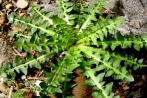 Η γιαγιά μας το γνώριζε και η επιστήμη το επιβεβαίωσε: Δείτε τις θεραπευτικές ιδιότητες της ρίζας αυτού του φυτού
