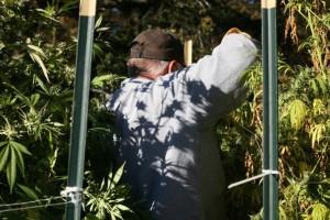 Καστοριά: Μερακλής παππούς την είδε γεωπόνος και καλλιεργούσε δενδρύλλια κάνναβης