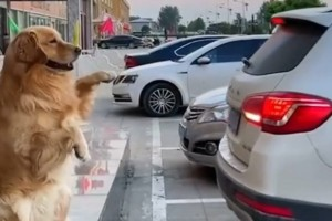 Απίστευτο βίντεο: Σκύλος βοηθάει το αφεντικό του να… παρκάρει!