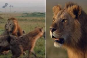 Ο «Βασιλιάς της ζούγκλας»: Λιοντάρι τα βάζει με 20 ύαινες ταυτόχρονα και θριαμβεύει