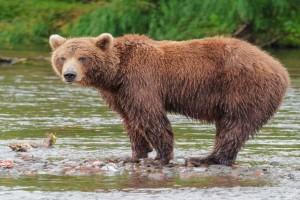 Θεσσαλονίκη: Αρκούδα κατέβηκε στις όχθες του Αξιού για… μέλι