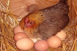 Το μυστικό της γιαγιάς για να γεννάνε ασταμάτητα οι κότες σας αυγά