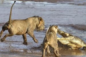 Επική μάχη κροκόδειλου με δύο λιοντάρια! Ποιος βγήκε νικητής;