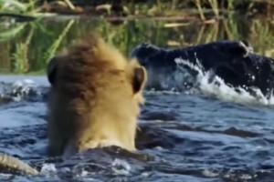 Κροκόδειλος δε «μασάει» και τα βάζει με δύο λιοντάρια - Αυτό που γίνεται στη συνέχεια...