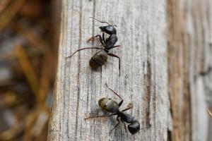 Βάλε μαγειρική σόδα με ζάχαρη και πες «αντίο» στα μυρμήγκια!