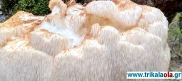Τρίκαλα: Απίστευτες εικόνες! Βρέθηκε 5,5 κιλά μανιτάρι (Photos)
