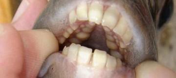 Απίστευτο: Υπάρχει ψάρι με..ανθρώπινη οδοντοστοιχία!