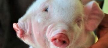 Σοκ: Γεννήθηκε μεταλλαγμένο γουρούνι με 2 κεφάλια και 3 μάτια (Video)