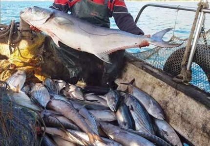 Πρέβεζα: Ψαράς σήκωσε τα δίχτυα του και δεν πίστευε στα μάτια του! Η απίστευτη ψαριά που κάνει τον γύρο του διαδικτύου (photo)