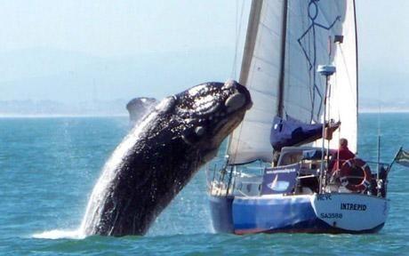 Συγκλονιστικό βίντεο και φωτογραφίες με φάλαινα να ορμάει σε ιστιοπλοϊκό!