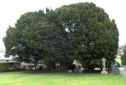 Και όμως βρήκαμε το γηραιότερο δέντρο ηλικίας 10.000 χρόνων!!!(PHOTOS)