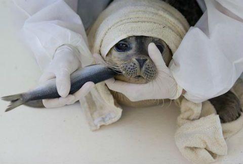 Ολλανδία:ΔΕΙΤΕ το ορφανοτροφείο για φώκιες!(συγκινητικές photos)