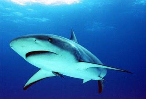 ΣΟΚΑΡΙΣΤΙΚΟ! Χταπόδι καταβροχθίζει καρχαρία...(VIDEO)