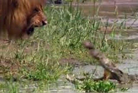 ΔΕΙΤΕ.. Όταν ένας κροκόδειλος ετοιμάζεται να επιτεθεί σε ένα λιοντάρι... ΠΟΙΟΣ ΘΑ ΕΙΝΑΙ Ο ΝΙΚΗΤΗΣ;;; (VIDEO)