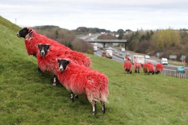 Η Φωτογραφία της Ημέρας: Τα κόκκινα πρόβατα της Σκωτίας