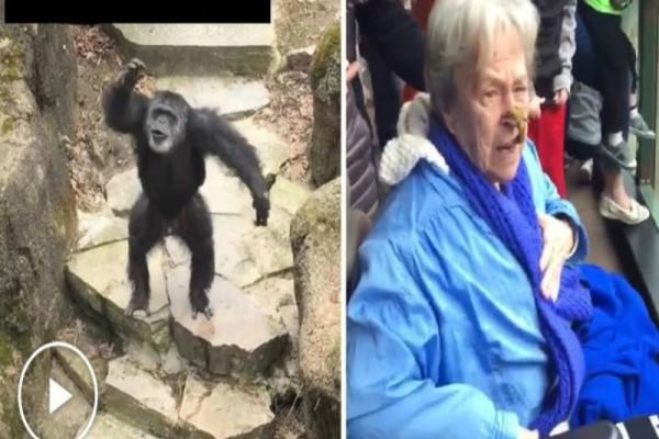 Χιμπατζής πέταξε τις... ακαθαρσίες του στο πρόσωπο ηλικιωμένης! (video)