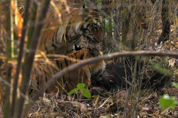 Βίντεο - σοκ: Τίγρεις επιτίθενται σε μικρό αρκουδάκι και το κατασπαράζουν!