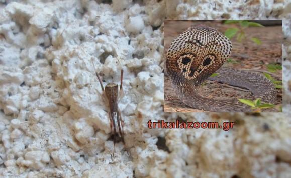 Σοκ στα Τρίκαλα: Η αράχνη - κόμπρα έκανε την εμφάνισή της και προκάλεσε πανικό! (photo)