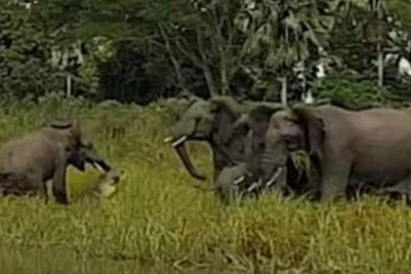 Κροκόδειλος αρπάζει ελεφαντάκι από την προβοσκίδα, χωρίς να λογαριάσει την οικογένειά του