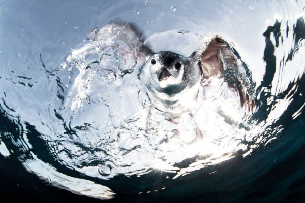 Η φωτογραφία της ημέρας: Το πρώτα βήματα ενός μικρού πιγκουίνου!