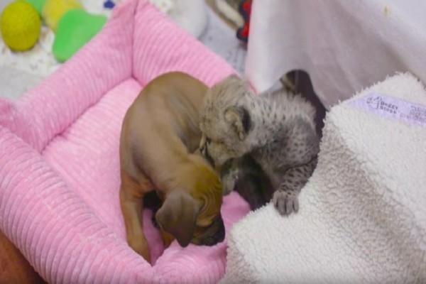 Πώς ένα σκυλάκι και ένα τσιτάχ έγιναν οι καλύτεροι φίλοι; - Η συγκινητική ιστορία τους (Video &Photo)