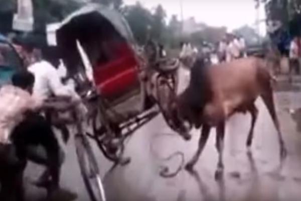 Απίστευτη οργή: Εξαγριωμένη αγελάδα επιτίθεται σε ό,τι βρει μπροστά της! (Video)