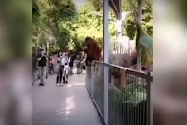 Συναγερμός σε ζωολογικό κήπο: Ουρακοτάγκος δραπέτευσε από το κλουβί του μοιράζοντας τον... τρόμο! (video)
