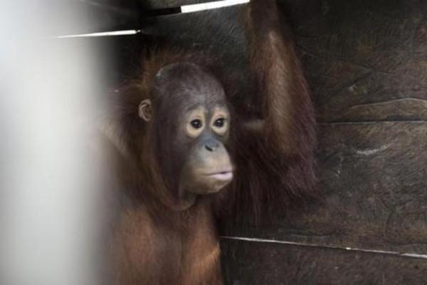 Ουρακοτάγκος ελευθερώθηκε μετά από δύο χρόνια