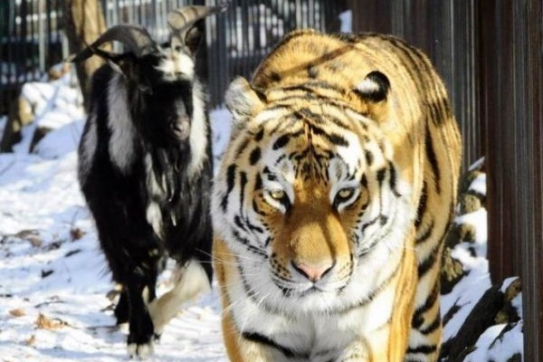 Τραγικό: Τίγρης σκότωσε φύλακα σε ζωολογικό κήπο! (Video)