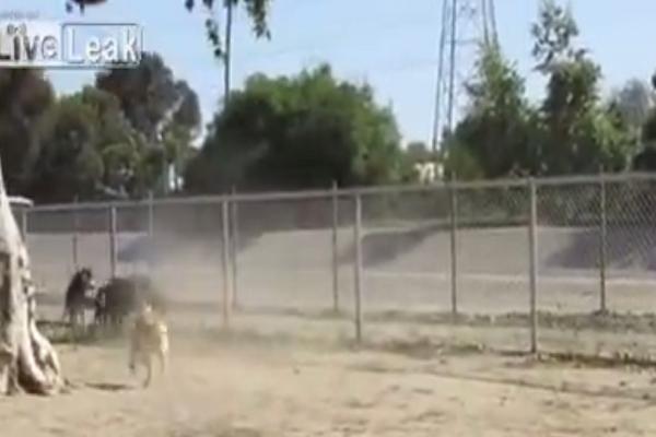 Θα «πέσετε» κάτω από τα γέλια! Σκίουρος τα βάζει με αγέλη σκύλων! (video)
