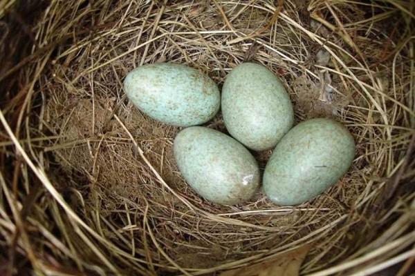 Γιατί τα πτηνά βάζουν αποτσίγαρα στις φωλιές τους; - Εσείς το γνωρίζατε;