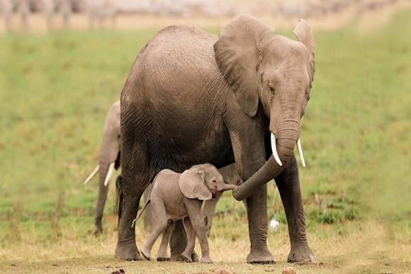 Αυτό είναι το μωρό ελέφαντας που έχει γίνει viral! Δείτε πώς το υποδέχονται οι υπόλοιποι ελέφαντες! (Video)