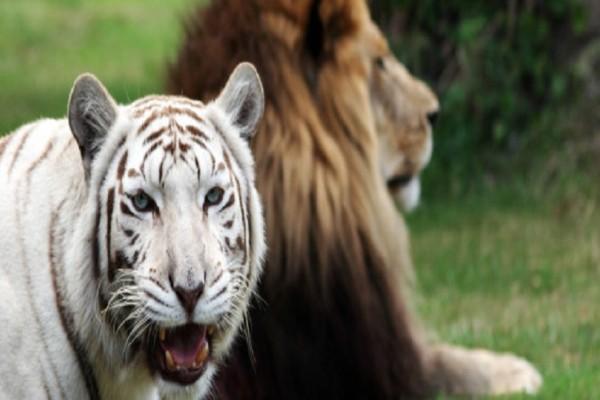 Λιοντάρια vs τίγρεις: Αυτές είναι οι πιο σκληρές μάχες για την επιβίωσή τους που συγκλονίζουν! (Video)