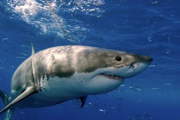 Απίστευτο βίντεο: Ένας τεράστιος λευκός καρχαρίας βγήκε στα ρηχά σε παραλία του Μεξικού!
