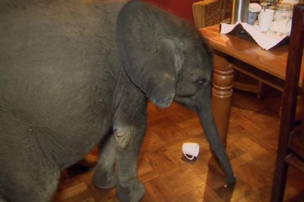 Η οικογένεια που έχει για κατοικίδιο... ελέφαντα! Το βίντεο που έχει