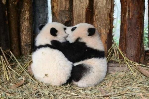 Αυτός είναι ο καλύτερος ζωολογικός κήπος: Ντύνεται panda για να φροντίζει τα μωρά panda! (video)