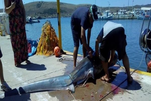 Απίστευτο περιστατικό στην Λήμνο: Σήκωσαν τα δίχτυα τους και είδαν καρχαρία 200 κιλών! (Photo)