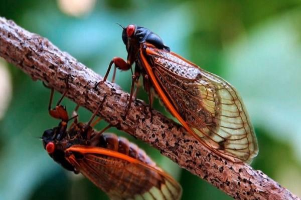 Καλοκαίρι χωρίς τζιτζίκια δεν γίνεται! - Όλα όσα πρέπει να γνωρίζεις γι' αυτό το ενοχλητικό έντομο! (Video)