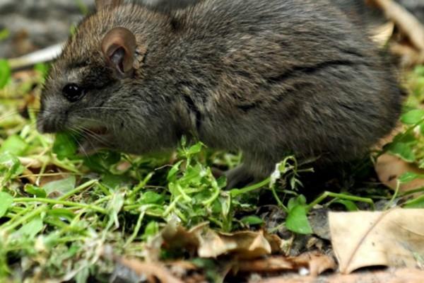 Κρήτη: Της έφαγαν την κληρονομιά τα... ποντίκια!