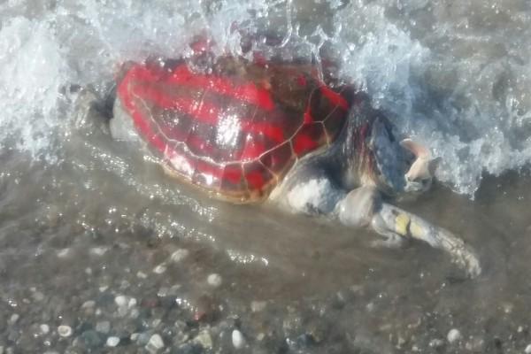 Εικόνες που προκαλούν φρίκη: Ακρωτηρίασαν θαλάσσια χελώνα και την έβαψαν με σπρέι (Photo)