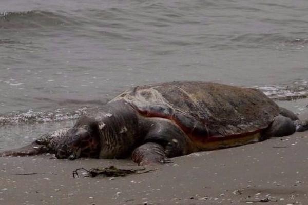 Φρίκη στο Ηράκλειο: Άγνωστοι βασάνισαν και αποκεφάλισαν θαλάσσια χελώνα! (photos)