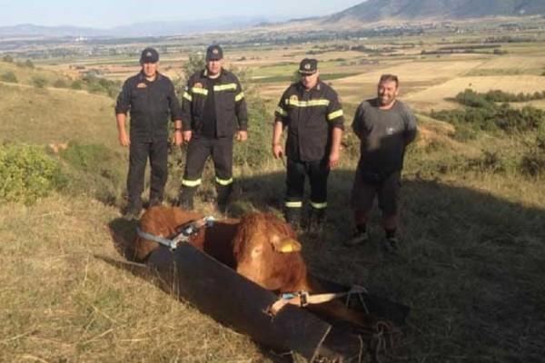 Απίστευτο περιστατικό στην Πτολεμαΐδα: Πυροσβέστες απεγκλώβισαν ταύρο που έπεσε σε χαράδρα (Photo & Video)