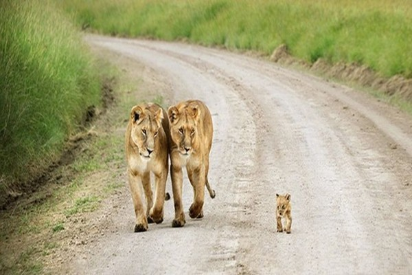 H φωτογραφία της ημέρας: Μια οικογένεια λιονταριών που έχει λυγίσει το διαδίκτυο!