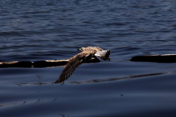 Μήνυση υπέβαλε η WWF για τη ρύπανση στο Σαρωνικό!