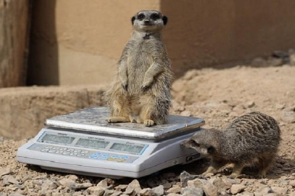 Απίστευτο βίντεο: Δείτε τον τρόπο που ζυγίζουν τα ζώα στους ζωολογικούς κήπους!