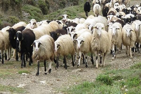 Απίστευτο περιστατικό στην Αιτωλοακαρνανία: Κεραυνός ξεκλήρισε κοπάδι με 50 πρόβατα