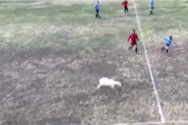 Η απίστευτη εισβολή μιας προβατίνας στον αγωνιστικό χώρο! Το βίντεο που έγινε αμέσως viral!
