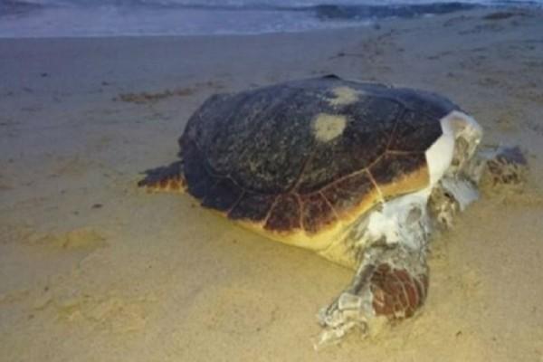Σοκαριστικές εικόνες: Η θάλασσα ξεβράζει αποκεφαλισμένες καρέτα - καρέτα